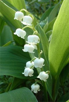 Lily of the Valley - I LOVE this flower! They smell so good!