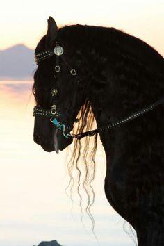 Friesian stallion - Feike 395.