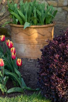 Think about the colour of nearby evergreens when choosing tulips #middlesizedgarden Container Gardening, Evergreen, Tulips, Colour, Color, Container Garden, Tulip, Colors