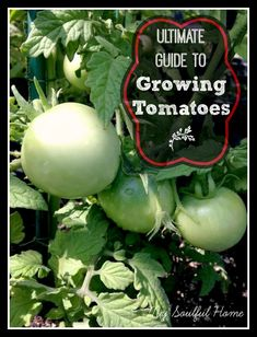 How to grow tomatoes- Truly ALL you need to know for a bumper crop!