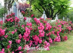 "Nothing says ""Cottage Garden"" more than these long-blooming, easy-care Flower Carpet Pink roses."