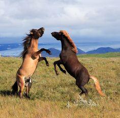 Férias Islândia.  Cavalos selvagens brincam em um prado ilha.  Cavalos islandeses.  Férias Escandinávia.