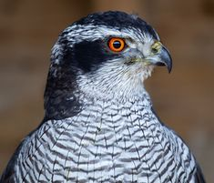 Free Pictures, Free Images, Birds Of Prey, High Quality Images, Find Image, Animals, Animales, Animaux, Free Pics