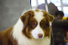 This white tipped eared Australian Shepherd is not deaf and is qualified to show in dog shows.