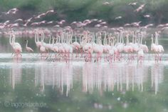 Flamingos. | Lake Bogoria. | Kenya. |  More pics www.shop.ingogerlach.de