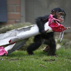 'Fumo',  de 13 meses, lleva bajo el brazo su regalo ya abierto, en el Taronga Park Zoo. Revista Ellas Panamá
