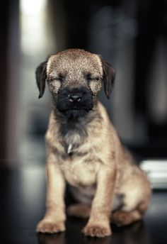 open your eyes you border terrier :) Cute Puppies, Cute Dogs, Dogs And Puppies, Doggies, Border Terrier, Funny Animals, Cute Animals, Farm Animals, Brown Dog