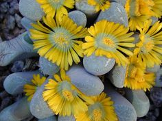 Lithops - pretty much every thing you need to know about its care and natural habitat!