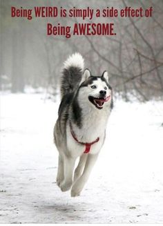 Wonderful All About The Siberian Husky Ideas. Prodigious All About The Siberian Husky Ideas. Happy Animals, Funny Animals, Cute Animals, Cute Puppies, Cute Dogs, Dogs And Puppies, Doggies, All Dogs, Corgi Puppies