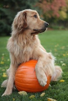 Fall Golden Retriever...ready for autumn, Halloween and Thanksgiving - photo via mistymorrning on imgfave.com