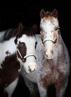 Horsie Friends--Pinto and Appaloosa