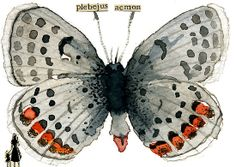 """Plebejus Acmon (Acmon Blue Butterfly)"" by Carol Kroll | Redbubble"