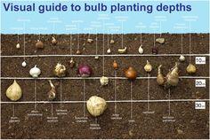 Głębokość sadzenia cebul