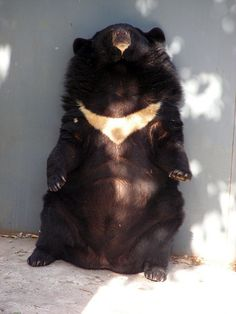China - Beijing Zoo - Asiatic Black Bear by cerdsp, via Flickr