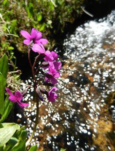wyoming alpine wildflowers - Google Search