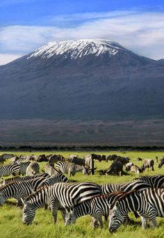 Zebras and black wildebeest graze near Mount Kilimanjaro in Tanzania.
