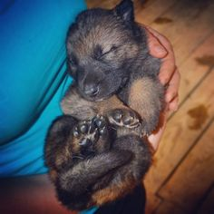 Jej wysokość słodkość... ;) #Corba? #4week #GermanShepherd #OwczarekNiemiecki #GSD #puppy #babyanimals #workingdog  #dogstagram