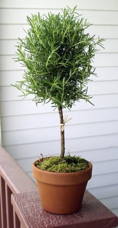 This is a Sponsored post written by me on behalf of Miracle-Gro for SocialSpark. All opinions are 100% mine. I've wanted to grow a Potted Rosemary Topiary indoors for awhile now, and I'm excited to be doing just that!  I love the simple beauty of a topiary, and I love the practicality of having rosemary in the house.  I plan on using it on my roasted potatoes all though out the fall and winter season! I'm super eager to get this awesome potted rosemary in the mail.  It is being shipped from…