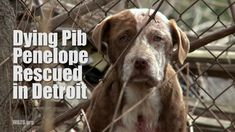 Please SHARE! Dying Pib Penelope Rescued in Detroit
