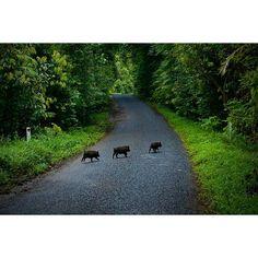【hajime0609】さんのInstagramをピンしています。 《#pig #piglet #wildlife #animal #nature #forest #trees #road #sunlight #green #cute #baby #run #camera #travel #roundtrip #australia #カメラ #旅 #子豚 #豚 #赤ちゃん #野生 ?#動物 #森 #木 #緑 #癒やし #可愛い #光》