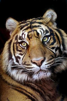 Sumatran Tiger by Roeselien Raimond