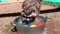 Watch These Raccoons Replace the Need for a Dishwasher