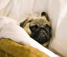 go to sleep, go to sleep, go to sleep little puggie