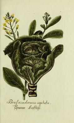 Jarhg.1 (1792) - Plantarum indigenarum et exoticarum icones ad vivum coloratae, oder, Sammlung nach der Natur gemalter Abbildungen inn- und ausländlischer Pflanzen, für Liebhaber und Beflissene der Botanik