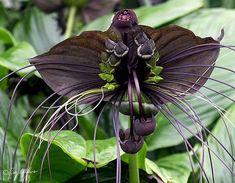 flores exóticas  Flor Morcego (Tacca chantrieri)