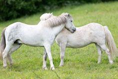 Tallit, Horses, Horse