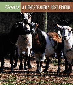 Goats – A Homesteader's Best Friend
