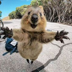 Gimme A Hug - Quokkas Are The Happiest Animals In The World