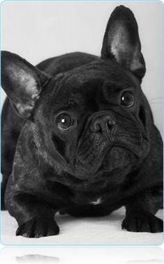 Французский бульдог - Породы собак