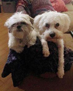 #shihtzu #dogstagram #dogcuddles#doglife #dog #instadog#maltipoosofinstagram #maltipoo#shihtzusofinstagram #shihtzupuppies#shihtzulove #maltipoolove #puppy