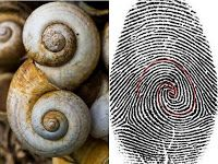 If you look deep into your fingerprint you can see the Fibonacci Spiral. If you notice this snails If you look deep into your fingerprint you can see the Fibonacci Spiral. If you notice this snails shell has the same pattern as well. Fibonacci Sequence In Nature, Maths In Nature, Spirals In Nature, The Golden Mean, Divine Proportion, Sacred Architecture, Architecture Tattoo, Temple Design, Patterns In Nature