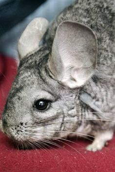 Meet Moped! This chill Chincilla is looking for a home. Learn how to adopt at http://www.bestfriends.org/Adopt-A-Pet/Sanctuary-Animals/Search/Small-Furry/25334085/.
