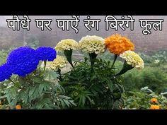 गेंदे के पौधे पर रंग बिरंगे फूल पाने का दुनिया का एकमात्र तरीका - YouTube Puttu Recipe, Amazing Flowers, Vegetable Garden, Garden Art, Diy Crafts, Kitchen Decor, Youtube, Plants, Gardens