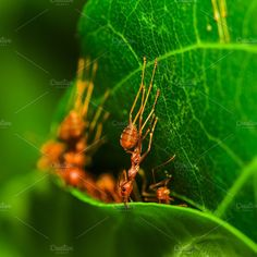 Red ants team work. Photos Red ants making nest together. Teamwork successful concept. by Pushish Images