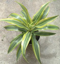 Dracaena deremensis—How to Grow D. Deremensis at Home: D. deremensis 'Warneckii Lemon Lime'