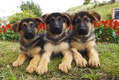 German Shepherd puppies . . . look at those faces!