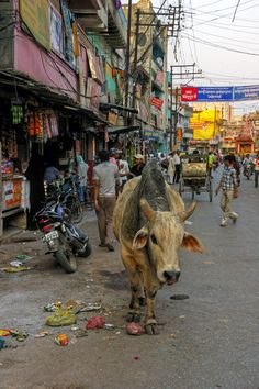 """India, """"holy"""" cow.                                                                                                                                                                                 Mais"""