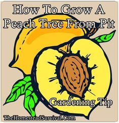 How to grow peach tree from pit gardening tip is a frugal way to add a tree start to your homestead orchard. Make sure you like The Homestead Survival Gardening Zones, Gardening Tips, Organic Gardening, Bucket Gardening, Vegetable Gardening, Growing Peach Trees, Growing Tree, Homestead Survival, Survival Tips