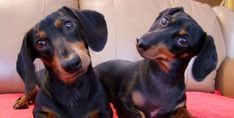 According To Science, This Is What It Means When Dachshunds Tilt Their Head - Sivar es Humor #dachshund