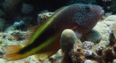 Forsters Korallenwächter