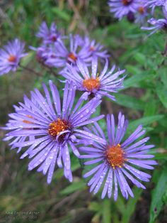 New England Aster (Aster novae-angliae) • Family: Aster (Asteraceae)  • Habitat: damp thickets and meadows • Height: 3-7 feet • Flower size: flowerheads around 1-1/2 inches across • Flower color: purple rays around a yellow disk • Flowering time: August to October