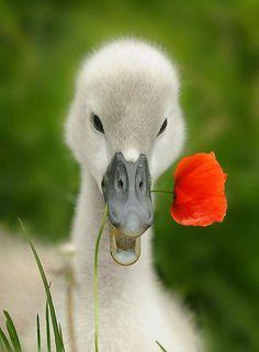 Swan & poppy flower
