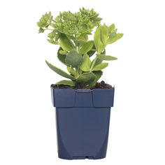 <p><strong>Herkomst</strong><br />Deze rotsplant komt uit de gebergten van Centraal-Europa.</p><p><strong>Kenmerken</strong><br />Hemelsleutels zijn de allerbeste vlinderlokkende vaste planten die er zijn. Deze bloeit roze en de uitgebloeide bloemen verkleuren naar donkerder rozerood. Deze kleur maker in het najaar groeit vanuit 1 punt en groeit uit tot een grote pol van vlezige bladeren met een grijs filtlaagje er op.</p><p><strong>Verzorging</strong><br />Hemelsleutel kan goed tegen de… Planter Pots