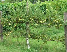Espalier Apple tree heavy with apples
