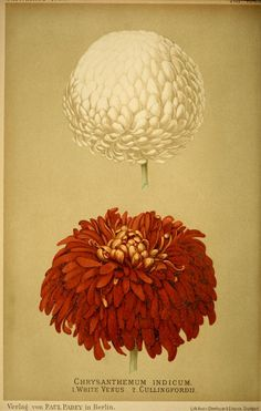 Chrysanthemum indicum. White Venus and Cullinfordii. Plate from 'Gartenflora' (1899). Published in Berlin.  Biodiversity Heritag...