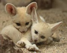 Fennec Fox, Animals, Animales, Animaux, Animal, Animais